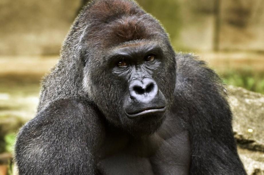 形狀像已故大猩猩哈蘭比的「奇多玉米棒」,在美國拍賣網上以超過「3百萬元」成交...