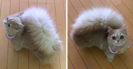 有「松鼠尾巴」的爆萌貓咪,站起來變身松鼠讓人受不了想「一手抓下去」!
