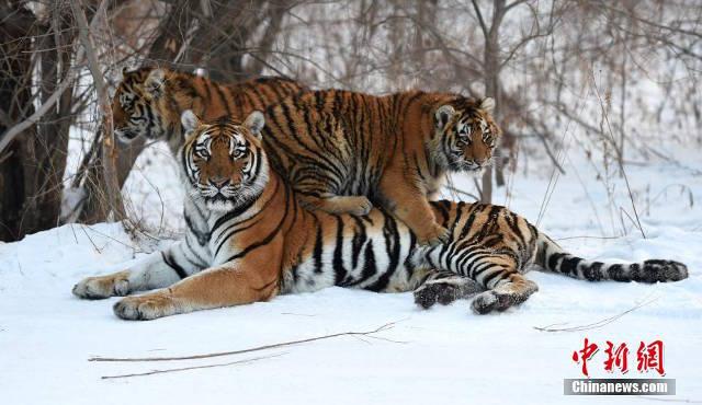 官方表示「胖胖虎」只是攝影角度問題「鏡頭前會多幾公斤」,PO出園區「爆帥」老虎寫真!