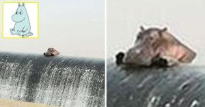 與「嚕嚕米」相似度90%的河馬「撲砂壩發呆照」,第3張看到鏡頭可愛到爆!(3張)