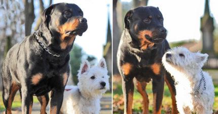 羅威那犬跟西高地白㹴「體型差兩倍」竟愛上對方,生下的黑捲毛小不點們萌得太超過了!(10張)