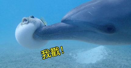 影/中二海豚「戳飛」呆萌河豚 這原來是海底「最屁孩」的遊戲!