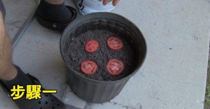 如果你還在買番茄就太笨了 因為「只要4步驟」你就能有吃不完的番茄!