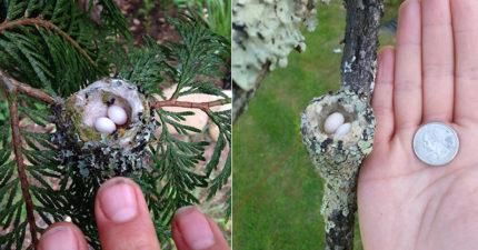 專家提醒民眾修剪枝葉時注意「超夢幻精靈巢」,因為會孵出這種不可思議的美麗生物!