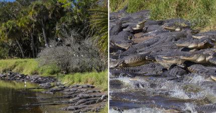 水坑旁「幾百短吻鱷」齊聚驚人畫面「準備攻擊」,多到Google衛星照片都能看到!
