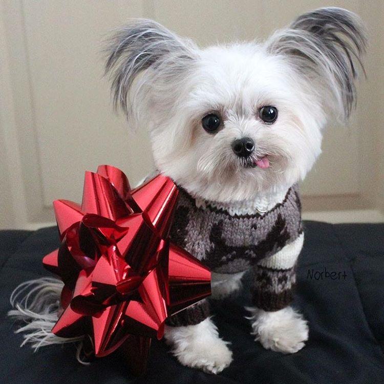 世界最小隻「超能力棉花糖治癒犬」網路爆紅!賣萌神技「歪頭吐舌+擊掌」拯救無數病人!(影片)