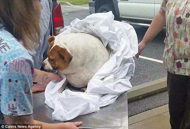 狗狗過重「心臟隨時都可能停止」獸醫都覺得死定了,「水下跑步機」減18公斤「完美身材」會給你希望!