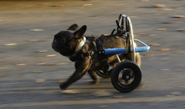 Paralyzed Dog Runs For First Time
