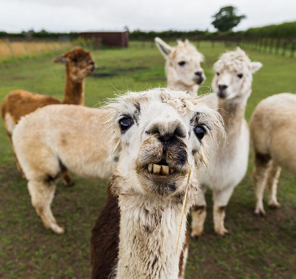 Derpy Alpaca Taking A Selfie