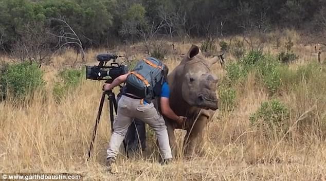 「大犀牛衝過來時」還以為他死定了,結果「94那邊不要停!」超傲嬌求抓癢萌死全網路!(影片)