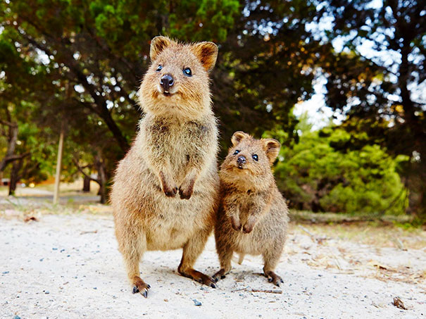 30張讓你看到世界還是很美好的「世界上最開心動物」短尾矮袋鼠照片!