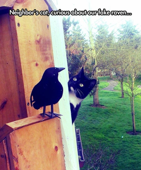 cool cat fake raven wondering Animals are the engine that power the internet (36 Photos)