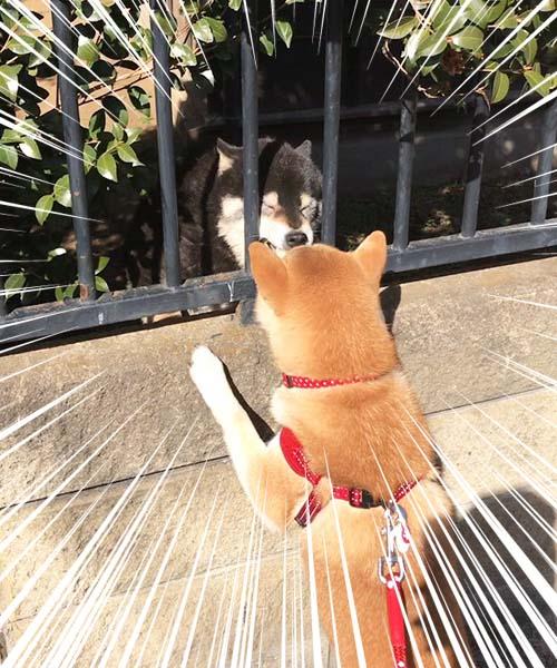 小萌柴柴散步時看到小黑狗想要「交朋友」,最後爆笑「悲劇收場」...
