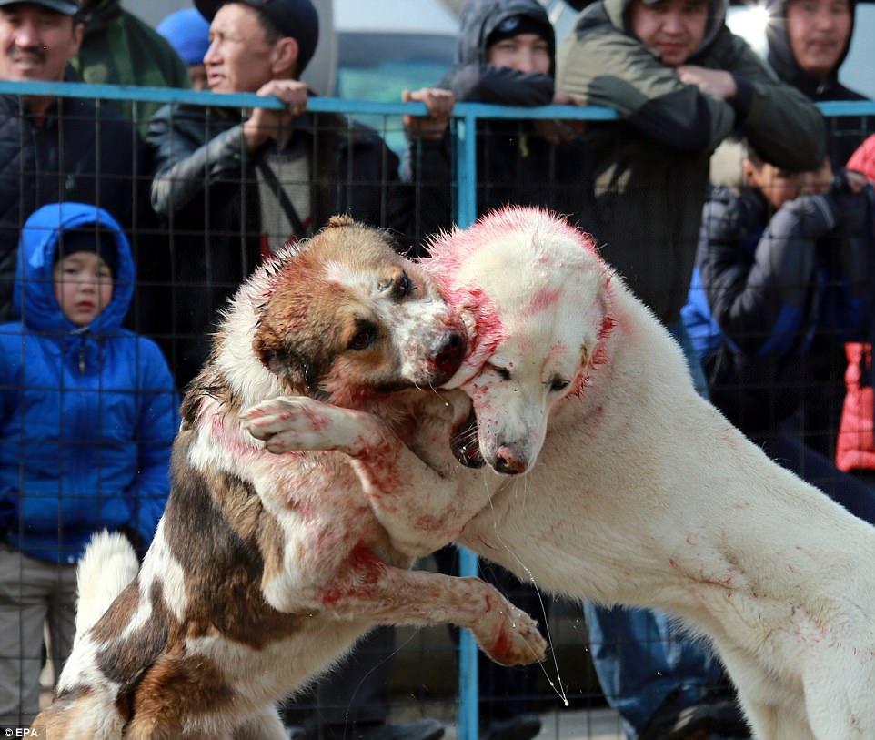 攝影師直擊鬥狗比賽血腥殘忍現場「堅稱是為了血統」,被逼自相殘殺模樣會讓你氣哭!(12張+非趣味)