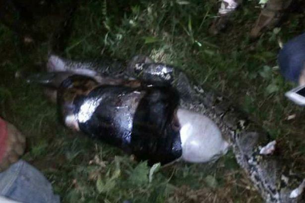 慎入!25歲壯男慘遭7公尺大蟒蛇生吞,一剖開「超鼓肚子」終於找到好友!(影片)