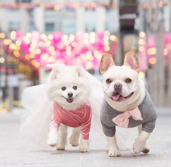 8張把單身狗閃瞎的超人氣「帥哥法鬥+網紅博美」浪漫婚紗照,#8老夫老妻POSE太犯規了!