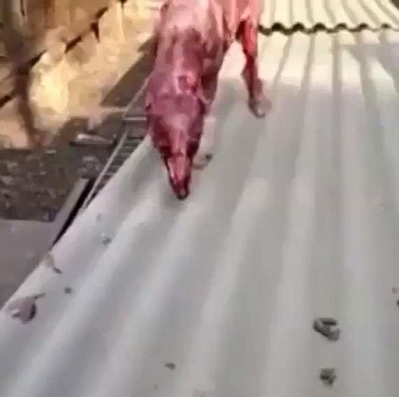 飼主只因不想養「把狗狗活生生地剝皮」拍下血淋淋影片,還笑說「這狗酷不」全網暴怒!