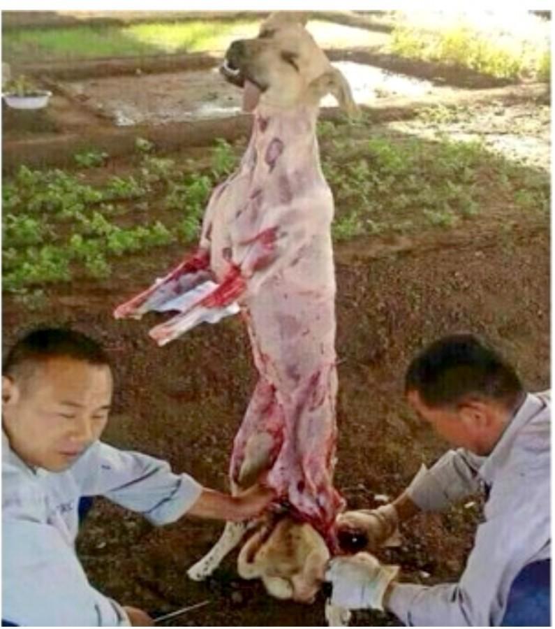 可惡的商人偷別人毛寶貝公然「剝皮殺狗」,畫面殘忍只有一個方法可以讓他們停止!(極度非趣味)