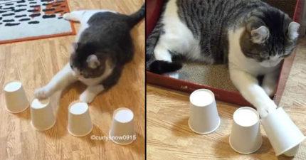 看這隻超能力喵星人玩「藏球遊戲」,超扯結果證明這隻貓可能比你聰明!(影片)