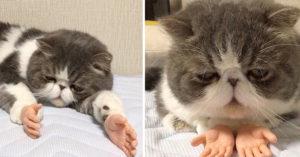 超不爽臉貓被「移植人類小手」引發網路暴動,超過11萬人轉發!