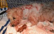 警察巡邏時在教會旁發現這隻「被砍19刀」,只剩下一口氣的小狗狗。主人把扶養權交出來...