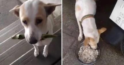流浪狗已經餓壞,每天「叼著樹葉」找陌生人懇求交換食物。(影片)