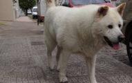超有感情的狗狗在主人「去世2年後」,每天依舊重複走以前散步的「路線」...