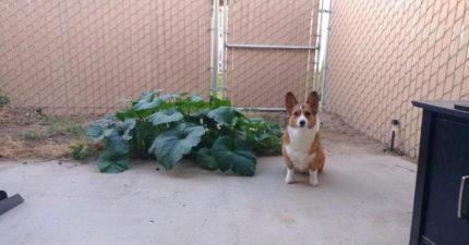 柯基狗狗不小心吃下南瓜籽,現在全家以後再也不用擔心沒南瓜吃了。柯基狗狗驕傲跟傑作合照!