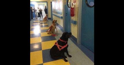 在這間義大利的醫院裡,這些治療犬等不及想要治療病房裡的孩童。病人:「出不了院了!」