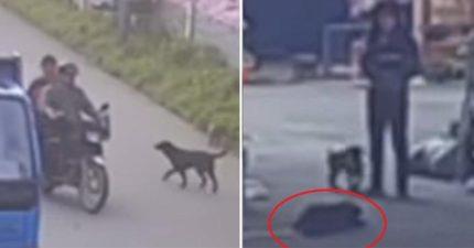 狗狗被殺狗人士的「毒鏢射中」,拼著最後一口氣回家跟主人說「我愛妳」... (影片)