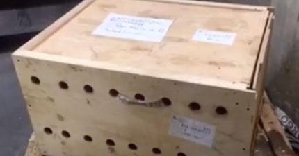 可疑木箱「放在機場7天」都沒人發現 打開後「裡面的生物」讓所有人都心碎了...