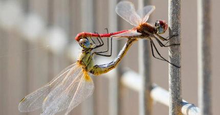 不喜歡不停愛愛的女生該學一下!當母蜻蜓不想愛愛時,會「直接墜機」讓公蜻蜓秒軟掉...