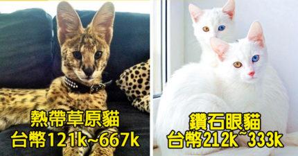 19種史上最珍貴的貓咪和他們的價格。#19「這種大型貓種」價格都能買輛車了!