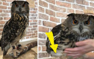 貓頭鷹的腿有多長?「羽毛掀起來」看之前最嘴巴裡最好沒飯!(往下看)
