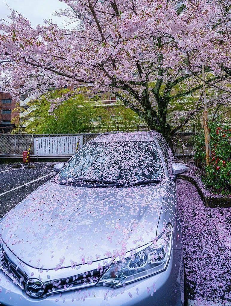 車主把車停在漂亮的櫻花樹下以為沒事,隔天去看眾人超羨慕「但車主哭笑不得」!