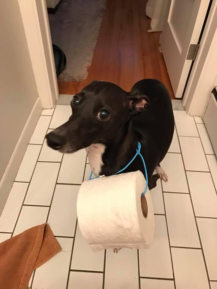呆萌狗狗「脖子掛衛生紙」一臉無辜找主人,「即刻救援」真相讓網友大讚想養一隻!