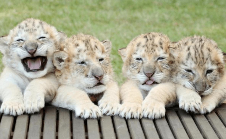 白獅白虎墜入愛河生下「4隻超萌珍貴神獸」 但他們的未來令人難過…