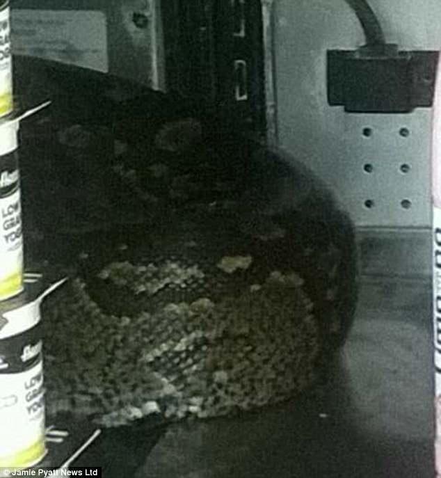 嚇死!超市伸手買優格「摸到3公尺大蟒蛇」!爬進超市的方法也太扯!