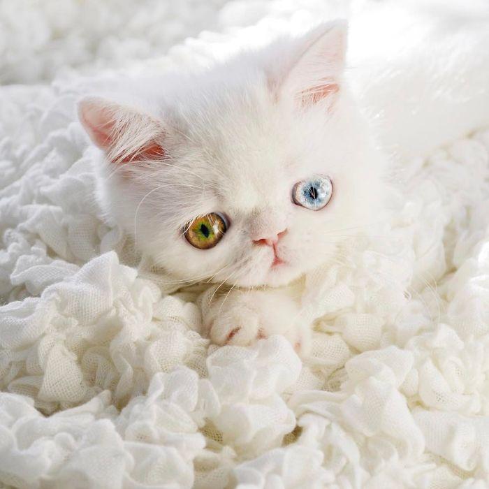 網上最美「星空眼睛」超萌貓咪!#6「燈光照進去」會直接被催眠! (11張)