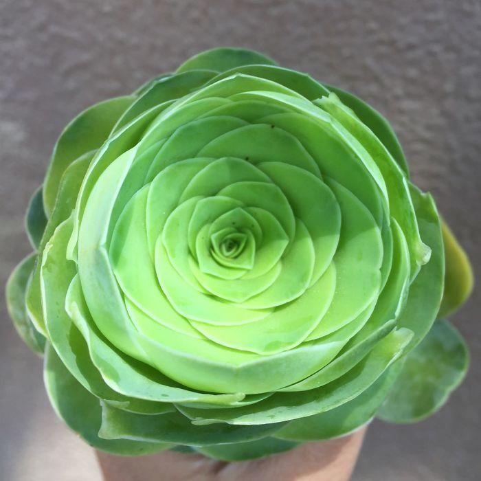 26張「真正可以長長久久」的玫瑰與仙人掌的混合體「山地玫瑰」夢幻級照片!