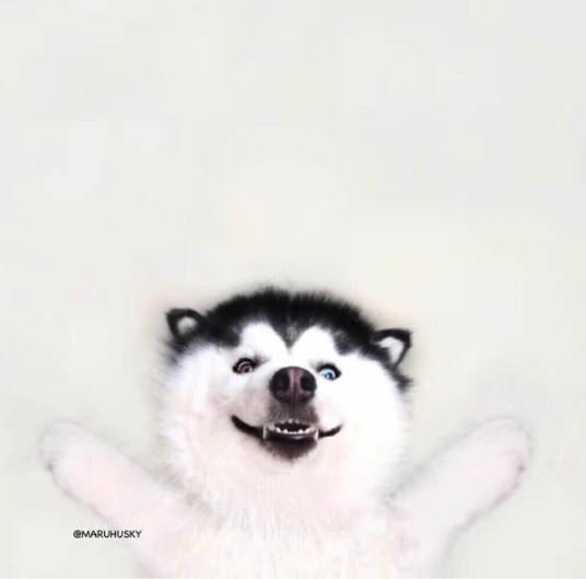 長得像熊貓的「開心哈士奇」已經超可愛,他眼睛一睜開「超猛顏色」網友讚翻! (15張)