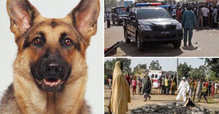 狗狗婚禮上發現「自殺炸彈客混入會場」衝上前阻止,最後「犧牲自己」拯救全場賓客!
