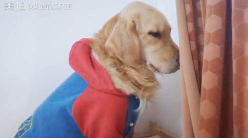 潔牙骨被吃黃金獵犬自己面壁超不爽,爸爸:「那是你自己吃剩的耶...」。網:「狗界王子病」!