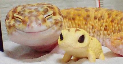小壁虎只要有迷你玩具壁虎陪就會「無法停止微笑」,超會放電「壁虎界布萊德彼特」帥氣笑容迷死人!(11張)