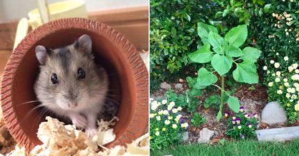 他在自己天竺鼠墳上發現一朵「太陽花」,回想才發現這是毛寶貝精細策劃留給他的「禮物」!