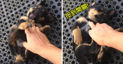 超萌狗狗激動的跟人在玩,結果不小心被按到「關機鍵」瞬間入眠! (影片)