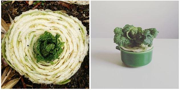 16種你買第二次就真的太笨的「種一次再也不必花錢買」的蔬菜!#16 吃到你藍瘦香菇!