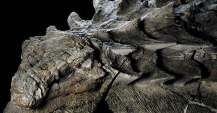 礦工挖到1億年前在路上行走的「史前四角裝甲車」,化石完整到讓人懷疑是雕刻!