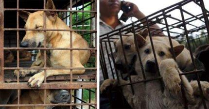中國玉林狗肉節每年屠殺3000隻狗狗,今年政府終於「禁售狗肉」全球鼓掌!台灣在這方面受到稱讚!