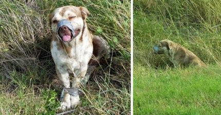 被人用膠帶綁住「活活等死」的小狗都已經快死了,看到傷害他的人類還不停「狂甩尾巴」讓人不捨!